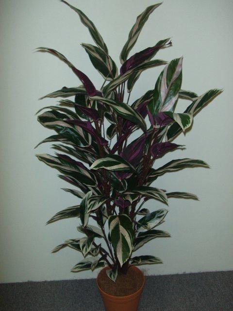 Maranta Plant 1.2mt