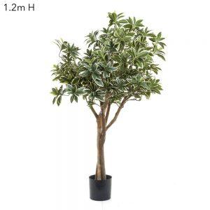 Variegated Top Tree 1.2mt