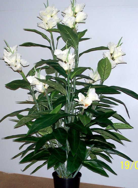 Canna Lilies 1.2mt double-White