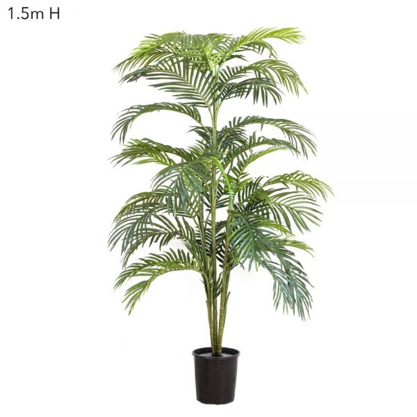 Areca Palm 1.5mt