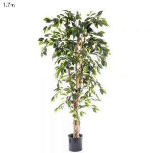 Ficus Tree 1.7mt