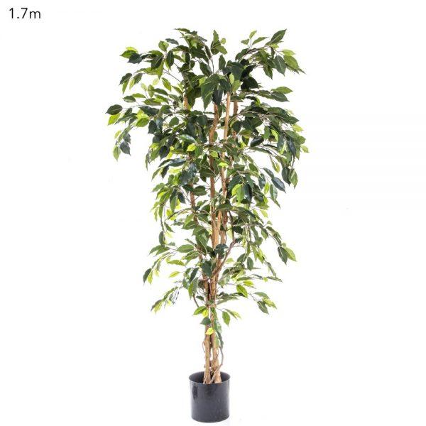Ficus Tree 1.7mt