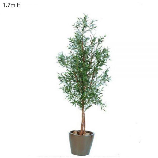 Olive Tree 1.7mt
