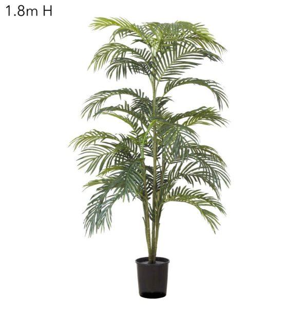 Areca Palm 1.8mt