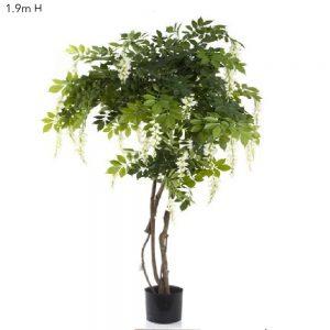 Wisteria Tree White 1.9mt