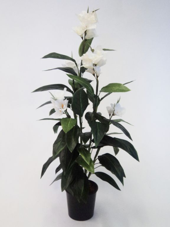 Canna Lily 1.2mt White-single