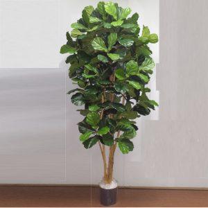 Fiddle Leaf Tree 2mt