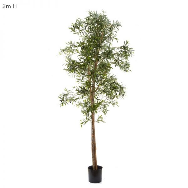 Olive Tree 2mt