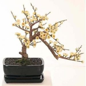 Bonsai Cherry Tree 38cm
