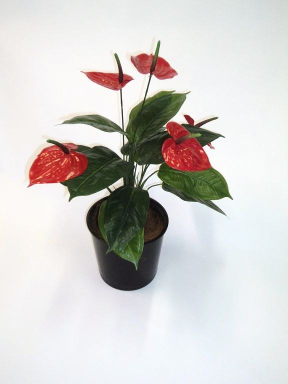 Anthurium Bush x 5 flwrs