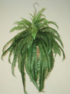 Boston Fern lge