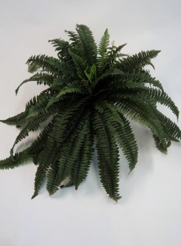 Boston Fern sml