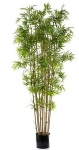 Bamboo Tree 1.9mt Japanese