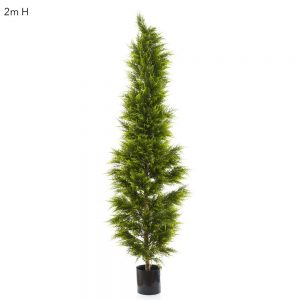 Cypress Pine Tree 2mt