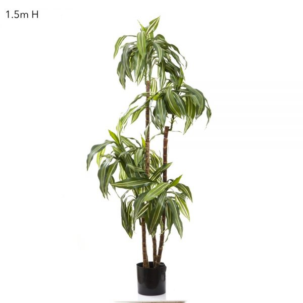 Dracena Fragrans Steud 1.5mt