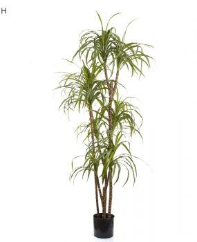 Artificial Dracena Marginata 1.8mt on natural timber stems –