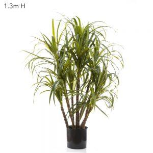 Dracena Marginata Tree 1.3mt