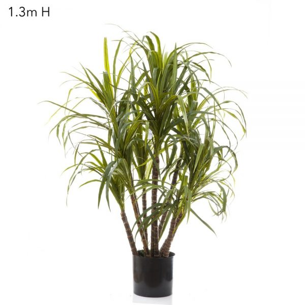 Dracena Marginata Tree 1.3mt