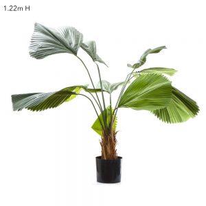 Fan Palm 1.2m