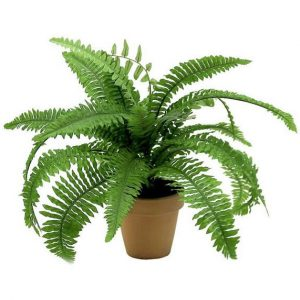 Fishbone Fern in terracotta pot