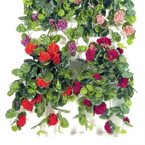 Geranium Vines in cane hanging basket