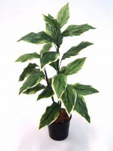 Hosta Plant 90cm