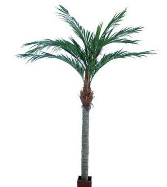 Majesty Palm 3.6mt