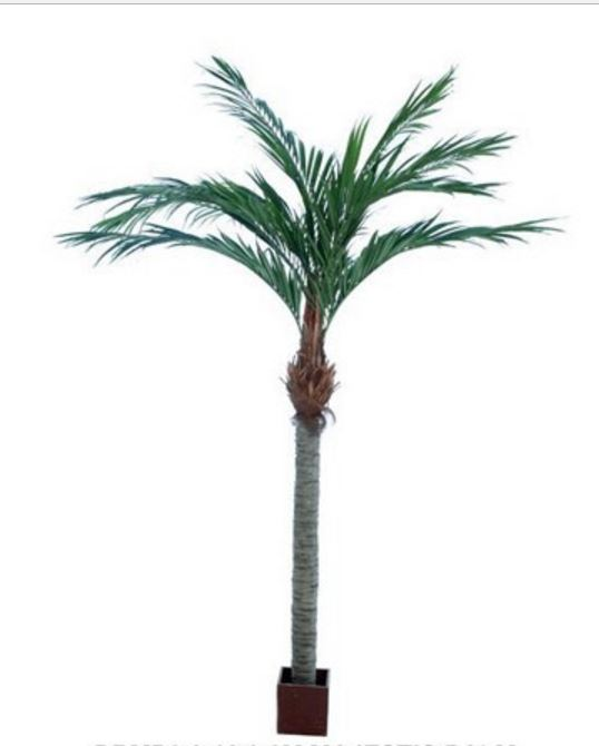 Majesty Palm 3.6mt