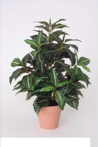 Zebra Plant 90cm