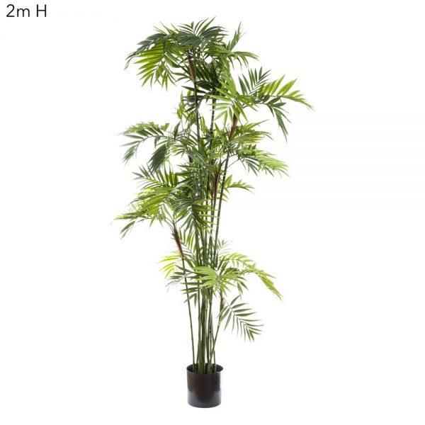 Parlour Palm 2mt