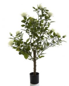 Rose Bush 1mt white