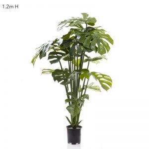 Split Leaf Philo – Monstera Tree 1.2mt