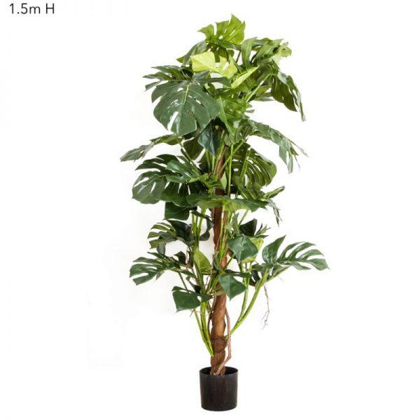 Split Leaf Philo – Monstera Tree 1.5mt
