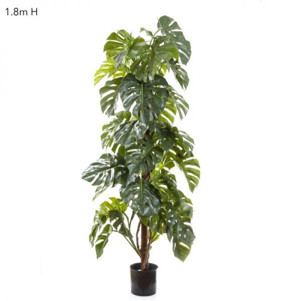 Split Leaf Philo - Monstera Tree 1.8mt