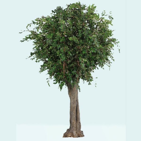 Ficus Exotica Giant Tree 3.4mt