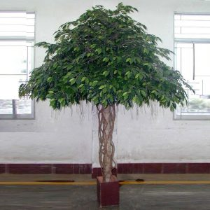 Ficus Umbrella Tree 3mt