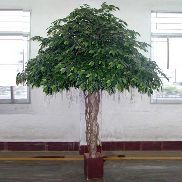 Ficus Umbrella Giant Tree 3mt