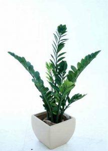 zanzibar bush 1.1mt