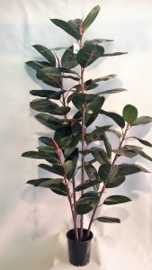 Rubber Tree 1.5mt