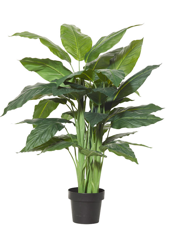 Spathiphyllum Plant 120cm