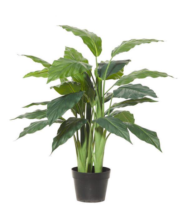 Spathiphyllum Plant 80cm