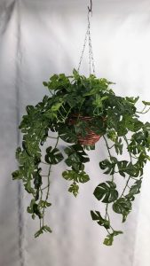 Split Philo Hanging Bush 2 x 15 stems & 105 lvs