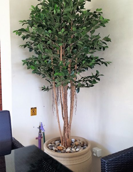 Ficus Retusa Tree 1.8mt