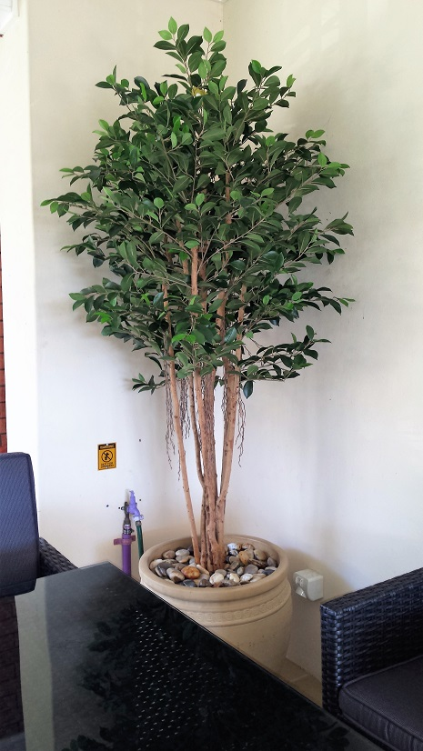 Ficus Retusa Tree 1.8mt