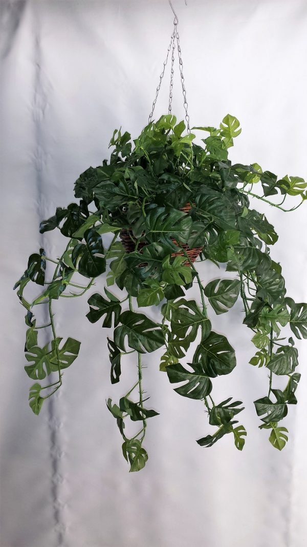 Split Philo Hanging Bush x 15 stems & 105 lvs