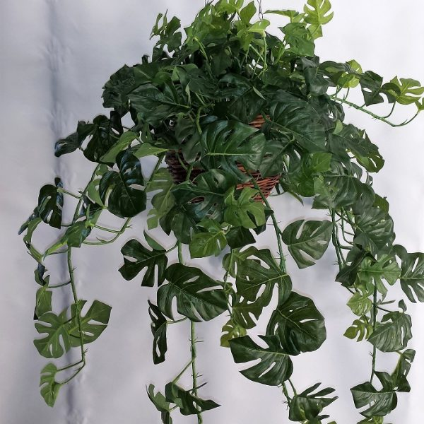 Split Philo Hanging Bush x 15 stems & 105 lvs