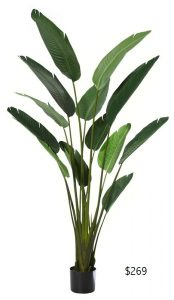 Travellers Palm 1.8mt