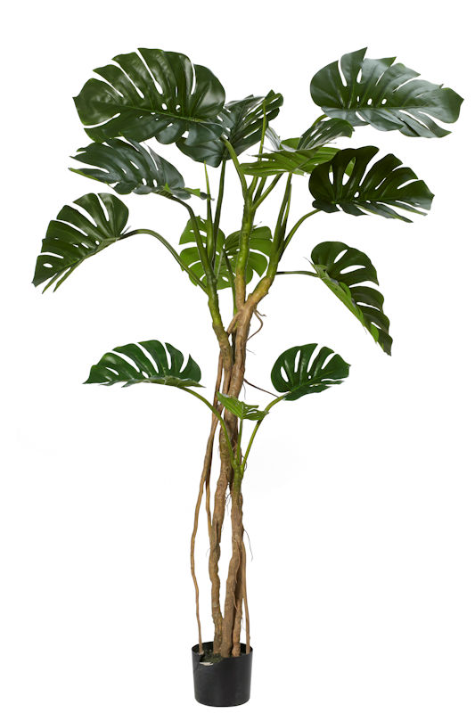 Monsteria Vine Tree