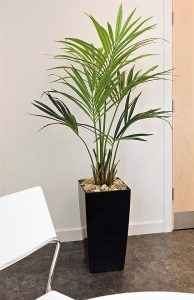 Kentia Palm 1.5mt with natural stems realistic leaves