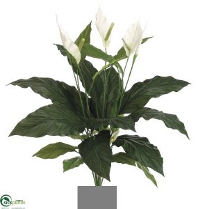 Spathiphyllum Madonna Peace Lily 90cm x 12 lvs x 3 flwrs x 1 bud
